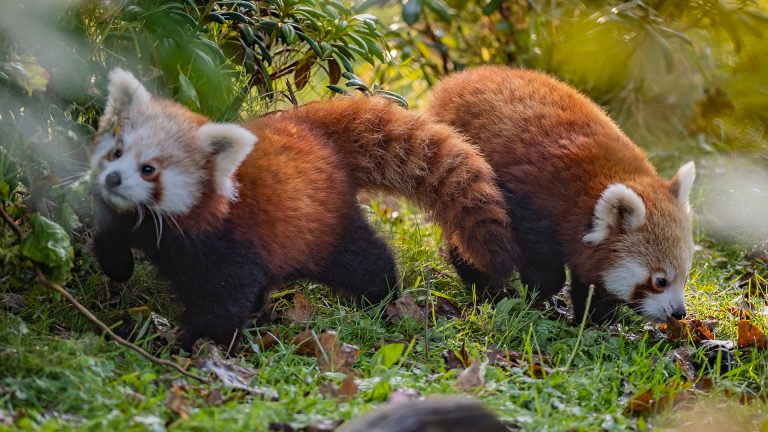 Red pandas at the Chester Zoo.